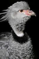 Crested Screamer (Chauna torquata)
