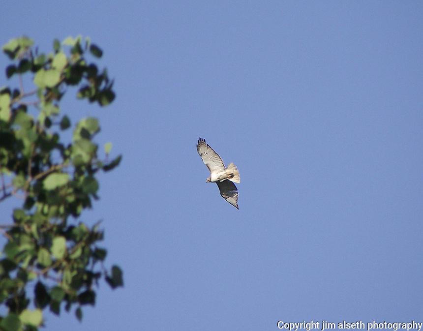 Swainsons Hawk in flight over prairie west of Edmonton, Alberta.