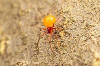 Female Cobweb Spider (Thymoites unimaculatus).  Approximately 2-3mm.