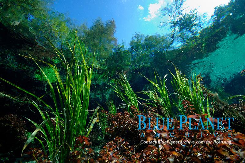 freshwater plants, Ichetucknee Spring, Ichetucknee State Park, Florida