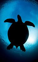 Green sea turtle, Chelonia mydas, silhouette, Sipadan Island, Sabah, Borneo, Malaysia, Celebes Sea, Pacific Ocean