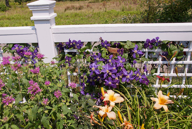 Purple-Blue flowers of Clematis x jackmanii climber vine with handmade plant sign of wood with hand printed in red, on white picket trellis fence, Hemerocallis daylilies, Monarda beebalm. Plant clematis so that their heads are in the sun, but their feet are shaded by other perennials or low-growing shrubs.