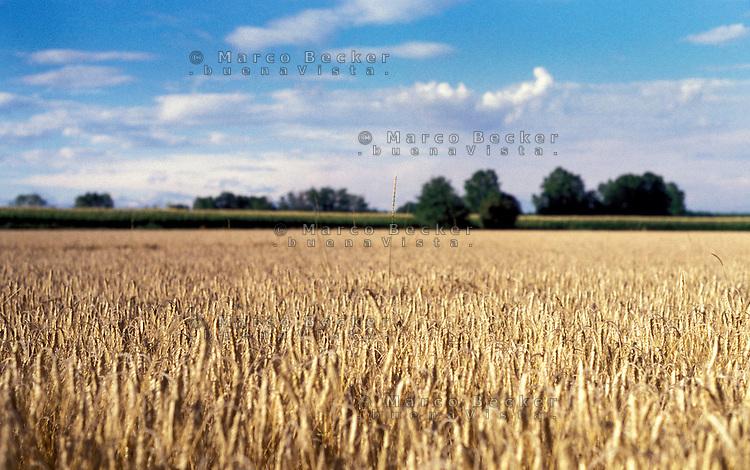 campo di grano nella zona di Magenta, a ovest di Milano --- field of wheat near Magenta (west of Milan)