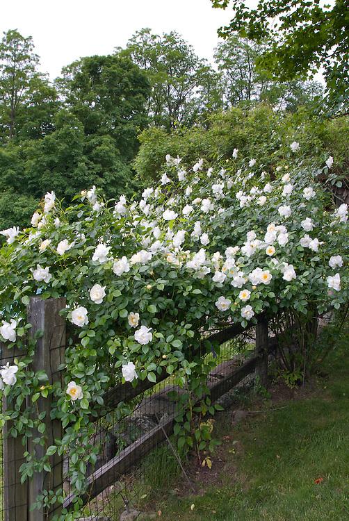 Climbing iceberg, White climbing roses on wooden fence, Rosa