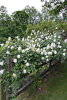 Climbing iceberg, White climbing roses on wooden fence, Rosa