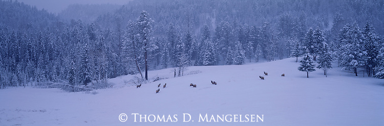With the clamor of the mating season far behind them, a herd of cow elk gather in a forest clearing at the break of a brief mid-winter day in Yellowstone National Park, Wyoming.