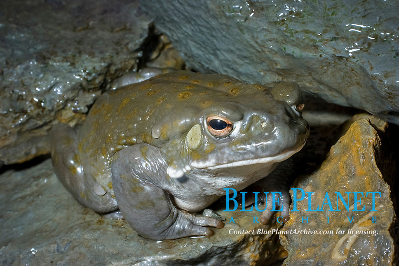 Colorado River Toad (Bufo alvarius) Lives in arid deserts,grasslands and woodlands of northern Mexico, Arizona and New Mexico. (c) (do)