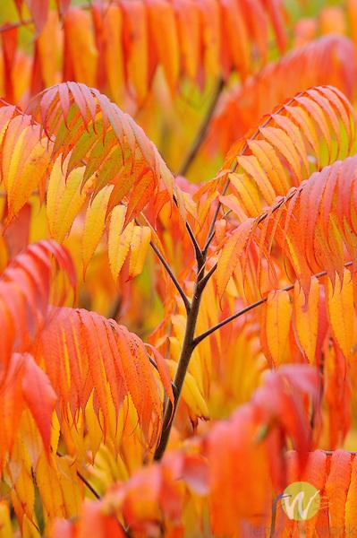 Sumac in Autumn.