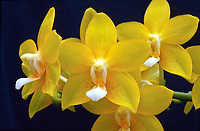 Orchid: Phalaenopsis Sierra Gold 'Suzanne', FCC/AOS orchid hybrid of Deventeriana x Mambo. Excellent Yellow.