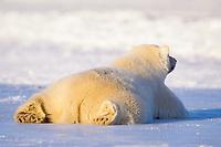 polar bear, Ursus maritimus, spread out on the pack ice of the frozen coastal plain, 1002 area of the Arctic National Wildlife Refuge, Alaska, polar bear, Ursus maritimus