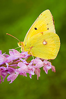 Clouded yellow butterfly (Colias crocea) on a heath spotted orchid (Dactylorhiza maculata).