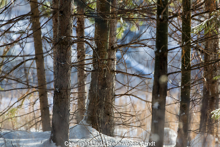 Pine trees in a winter forest