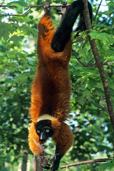 Red ruffed lemur (Varecia  variegata), Endangered Species.
