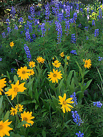Mountain Lupines and sunflowers brighten up the shade at Cedar Breaks National Monument in Utah