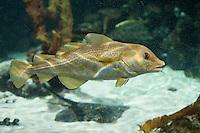 Königskabeljau, Königs-Kabeljau, Königsdorch, Königs-Dorch, Dorsch, Kabeljau, Gadus morhua, King Cod, Cod, Atlantic cod, Morue, codling, codfish, Cabbilaud. Glücksbringer, Glücksfisch, Mythen und Sagen. Dorsch mit einer ungewöhnlichen Kopfform, hat aufgrund einer genetischen Veränderung eine vergrößerte Stirn