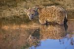 Spotted hyena, Mashatu, Botswana