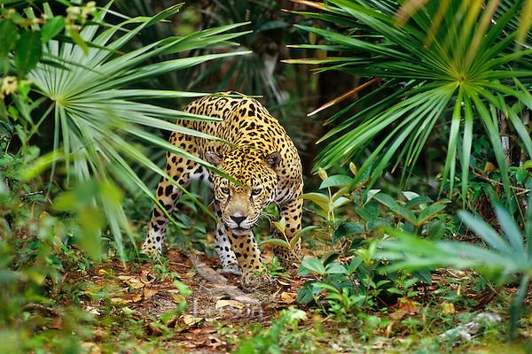 Jaguar (Panthera onca).  Central American rainforest.