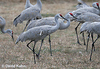 0102-1008  Flock of Sandhill Cranes Eating in Field during Winter, Grus canadensis  © David Kuhn/Dwight Kuhn Photography