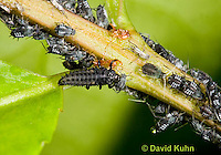 0107-0904  Asian Ladybug Larva, Feeding on Aphids, Harmonia axyridis, Maine  © David Kuhn/Dwight Kuhn Photography