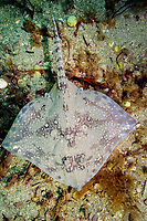 Thornback skate (Raja clavata) also called Thornback ray. The Lizard Peninsula, Cornwall, UK, Atlantic Ocean
