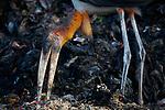Adult Greater Adjutant feeding at Boragaon Landfill. Assam, India.