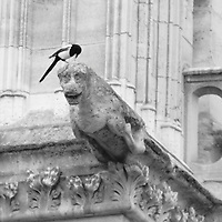 A magpie on an antique gargoyle on Notre Dame roof, in monochrome. This is an enlargement of the original photo (Paris, 2010).<br /> <br /> Una gazza su un'antica chimera sul tetto di Notre Dame, in monochromatico. Questo è un ingrandimento della foto originale (Parigi, 2010).
