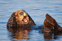 Enhydra lutris nereis, Sea otter, A sea otter, resting on its back, grooms the fur on its head, A sea otter depends on its fur to keep it warm and afloat, and must groom its fur frequently,, Elkhorn Slough National Estuarine Research Reserve, Moss Landing, California, USA