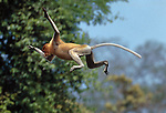 Proboscis Monkey (Nasalis larvatus) leaping across a narrow river. Menanggol River, Kinabatangan, Sabah, Borneo.