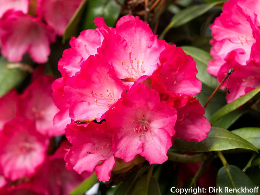 Rhododendron, Gartenanlage Stiegeler Park, Konstanz, Baden-Württemberg, Deutschland, Europa<br /> Rhododendron, in Stiegeler Park gardens, Constance, Baden-Württemberg, Germany, Europe
