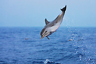 pantropical spotted dolphin calf jumping, Stenella attenuata, Kona Coast, Big Island, Hawaii, Pacific Ocean
