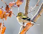 Olive warbler.