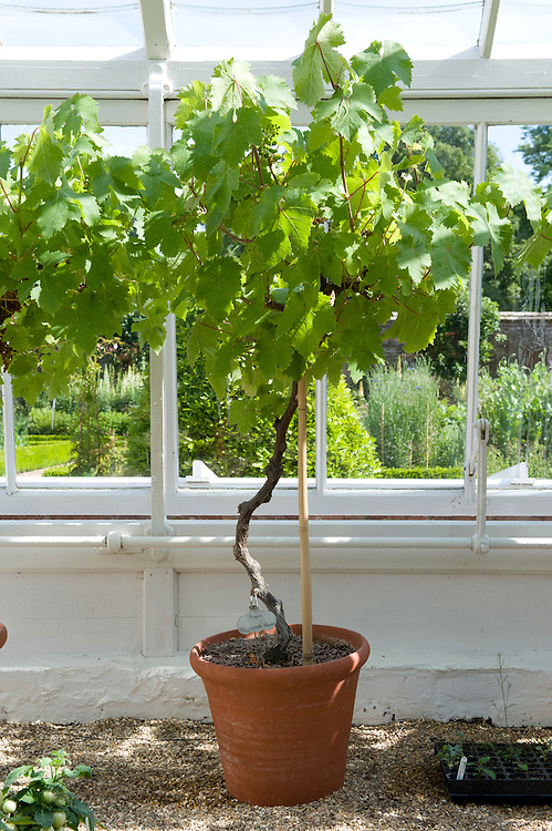 Grape vine 'Madresfield Court' growing as a standard in a container, glasshouse, mid June.