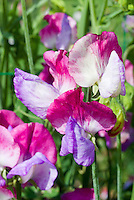 Lathyrus odoratus Sweet pea 'Fire and Ice' very highly fragrant grandiflora climbing annual vine, in flower two toned