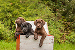 Three Labrador retriever puppies in a duck decoy box.