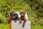 Three Labrador retriever puppies in a duck decoy box.