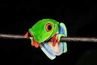 red-eyed treefrog, Agalychnis callidryas, Selva Verde Nature Reserve, Rio Sarapiqui region, Heredia, Costa Rica