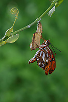 Gulf Fritillary (Agraulis vanillae), butterfly expanding wings after  emerging from chrysalis, series, Hill Country, Central Texas, USA