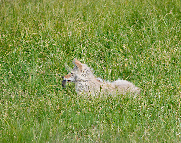Coyote (Canis latrans) with vole it has caught.  Western U.S., Summer.