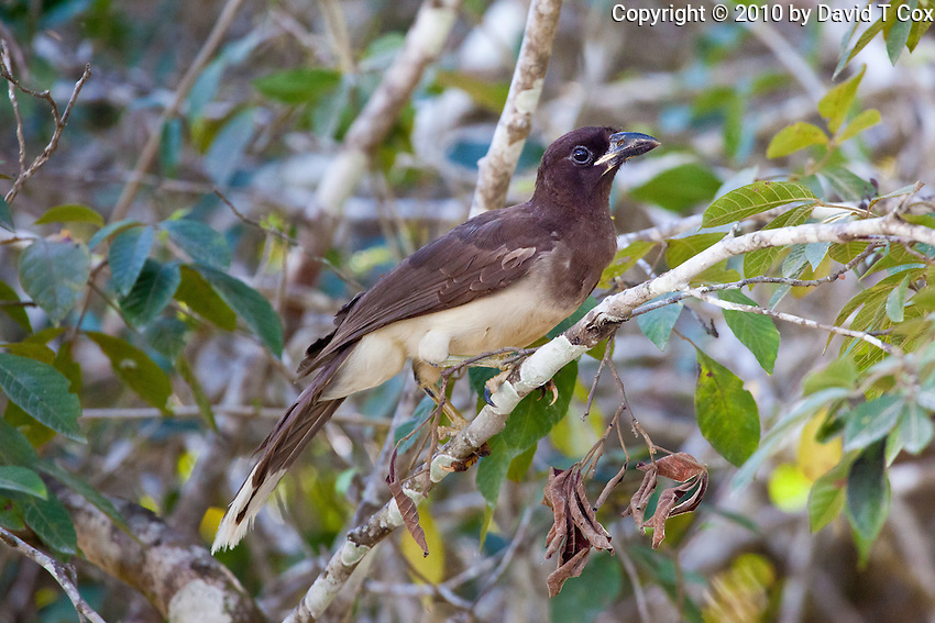 Brown Jay, Tikal, Peten, Guatemala