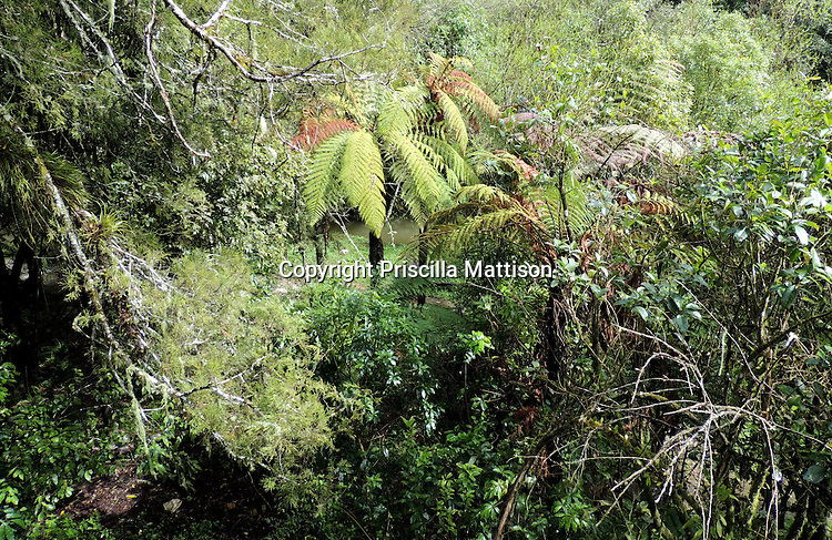 Waitomo, New Zealand - September 17, 2012:  Dead branches frame a tree fern above a stream in the rainforest.