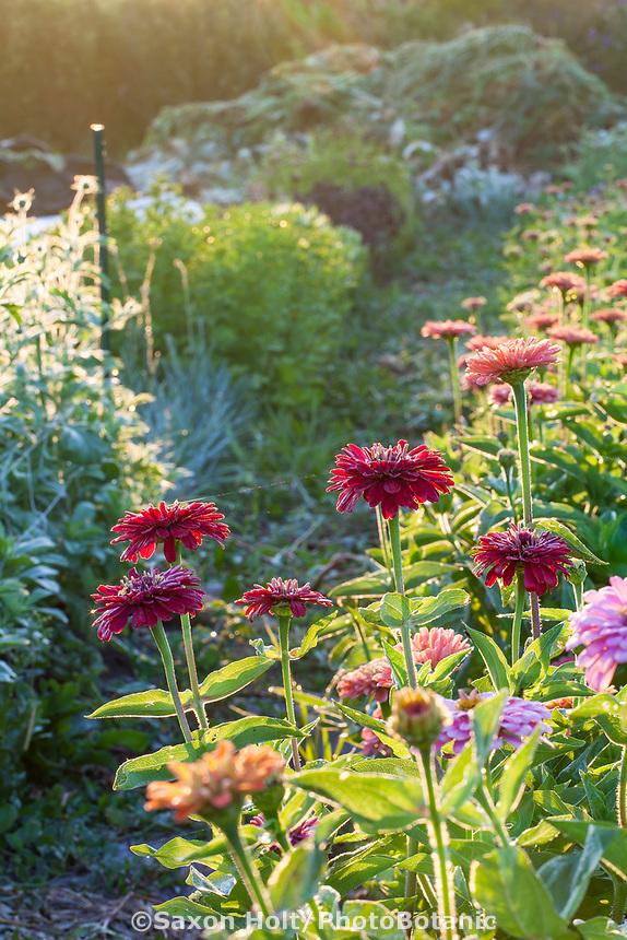 Morning light on row of no-till zinnia flowers, Singing Frogs Farm