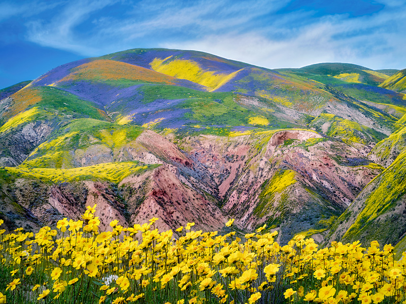 Field of Hillside Daisies (Monolopia lanceolata) and wildfower covered hills. Carrizo Plain National Monument, California