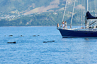 Short finned pilot whale (globicephala macrorhynchus) Easten Caribbean. A passing yacht stops to watch a group of pilot whales.