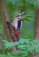 Buntspecht, Männchen bei der Nahrungssuche, Bunt-Specht, Specht, Spechte, Dendrocopos major, Picoides major, Great spotted woodpecker, male, Pic épeiche