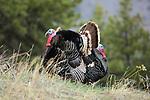 Merriam Turkeys in Full Strut