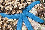 Fakfak Regency, West Papua, Indonesia;  a Blue Sea Star (Linckia laevigata) next to Acropora sp. stony corals