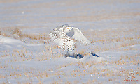 Female Snowy Owl (Bubo scandiacus) takes flight over the plains outside Calgary, Alberta, Canada.