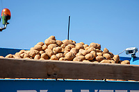 Seed potatoes in potato planter - Lincolnshire, April