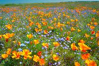 California poppies (Eshscholtzia californica) and Davy Gilia (Gilia latiflora ssp. Davyi). Near Lancaster, California
