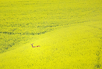 Deer in field of Canola. The Palouse near Colfax, Washington.
